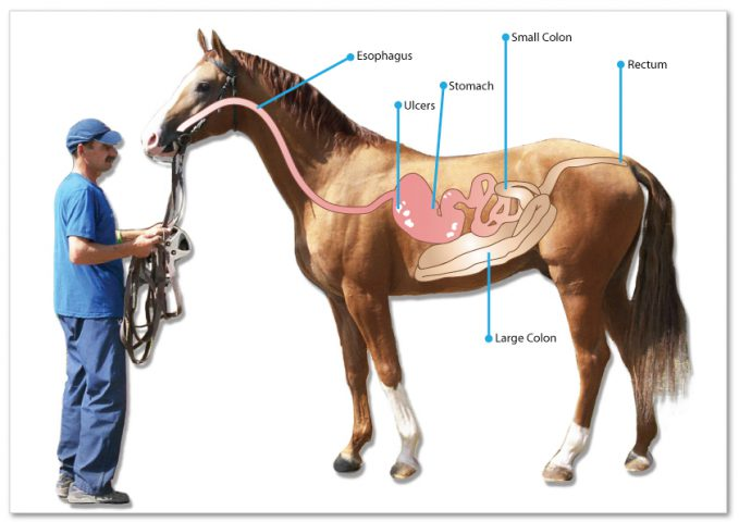 Ulcers in Horses